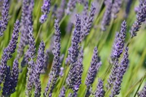 Lavender holistic